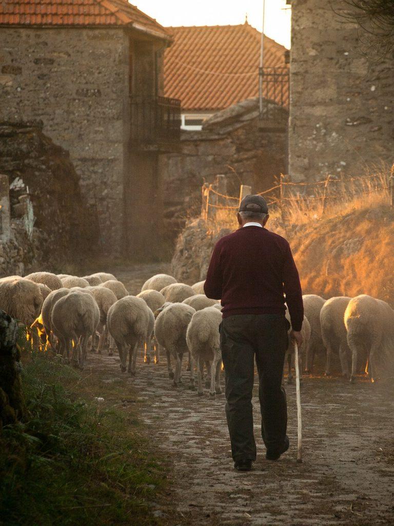 sheep-298650_1280